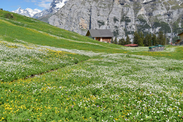 North Face Trail to Murren, pastures and wild flower meadows