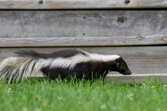The striped skunk  (Mephitis mephitis)  near the human dwelling.