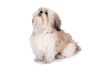 Shih Tzu Puppy photos, royalty-free images, graphics