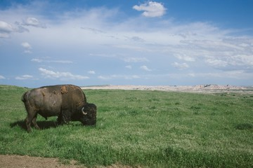 Tuinposter Buffel Wild bison grazing the grass in Badlands national park, South Dakota