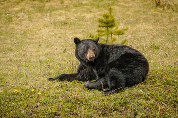Black bear resting on green grass beside of highway