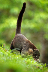 White-nosed Coati, Nasua narica, green grass habitat National Park Manuel Antonio, Costa Rica. Animal in the forest. Mammal in the nature .Animal from tropical Costa Rica. Very long tail.