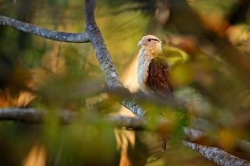 Yellow-headed caracara, Milvago chimachima, bird fly above green vegetation. Caracara flight in the nature habitat, Tarcoles, Carara NP, Costa Rica. Wildlife scene from nature.
