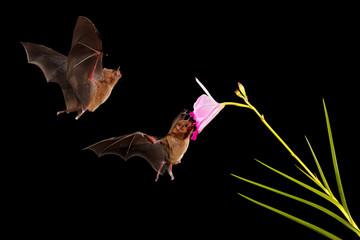 Bat night wild forest. Orange nectar bat, Lonchophylla robusta, flying bat in dark night. Nocturnal animal in flight with yellow feed flower. Wildlife action scene from tropic nature, Costa Rica.