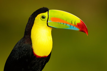 Foto op Plexiglas Toekan Wildlife from Yucatán, Mexico, tropical bird. Toucan sitting on the branch in the forest, green vegetation. Nature travel holiday in central America. Keel-billed Toucan, Ramphastos sulfuratus.