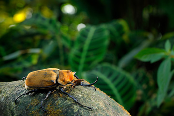Rhinoceros elephant beetle, Megasoma elephas, big insect from rain forest in Costa Rica. Beetle sitting on stone in the green jungle habitat. Wide angle lens photo of beautiful animal in green jungle