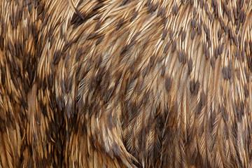 Detail plumage feathers of Common Emu, Dromaius novaehollandiae, biggest bird from Australia. Beautiful art close-up detail from bird nature. Brown feathers of emu.