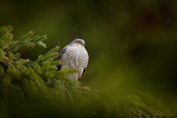 Bird of prey Eurasian sparrowhawk, Accipiter nisus, sitting on spruce tree during heavy rain in the forest. Bird in the green habitat. Sparrowhawk in the rainy wood in the nature.