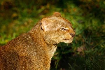 Jaguarundi, Herpailurus yagouaroundi, detail portrait of wild cat in the nature habitat. Jaguarundi in the tropic forest vegetation. Rare animal in the green jungle wildlife, Brazil, South America.