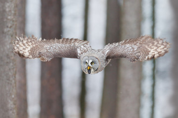 Fototapete - Bird in flight. Great Grey Owl, flying in the forest, blurred autumn trees with first snow in background. Wildlife animal scene from nature. Owl from Sweden autumn forest, first day with snow.