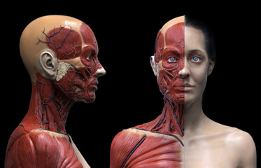 Human body anatomy muscles structure of a woman, front view, 3d render