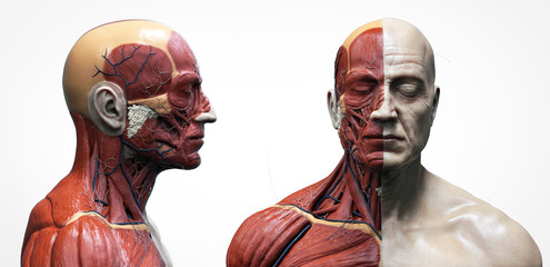 Human body anatomy muscles structure of a male, front view and side view , 3d render