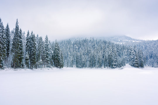 coniferous forest on snow covered lake. beautiful nature scenery on a cloudy day in winter. trees in snow. gloomy overcast sky in them morning.