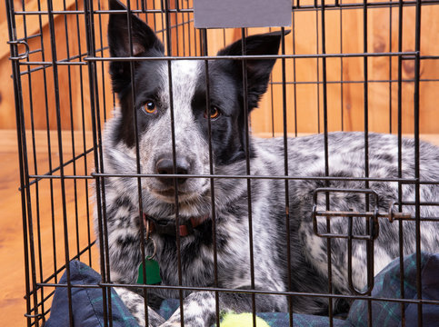 Beautiful black and white dog resting in a closed crate, looking confident and relaxed