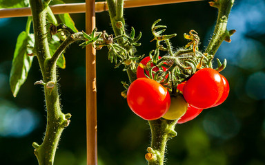Sunset Tomatos