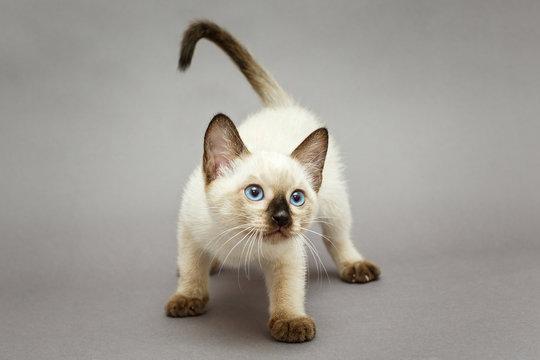 Little funny Siamese kitten