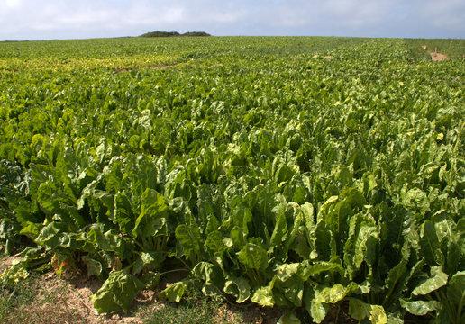 champs de betteraves fouragères,culture ,agriculture