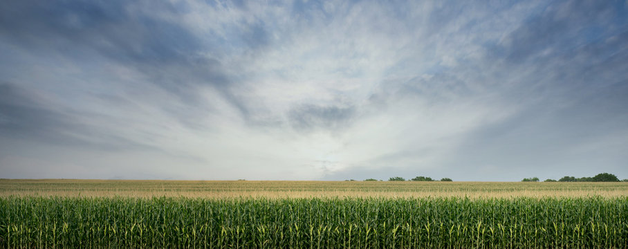Corn Field ready to be Harvested