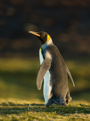 Close up of a King penguin walking on grass
