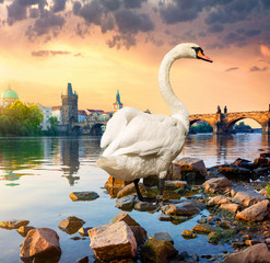 Wall Mural - White swan on river Vltava
