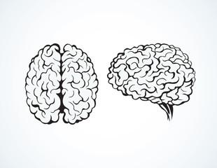 Brain. Vector drawing