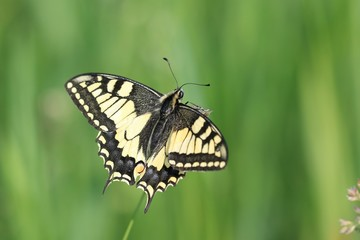 Old World swallowtail (Papilio machaon) resting on a flower in a green meadow, a butterfly of the family Papilionidae. The butterfly is also known as the common yellow swallowtail