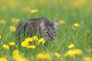 Beautiful tabby cat in the blooming meadow. Felis silvestris catus. beautiful european cat in the grass
