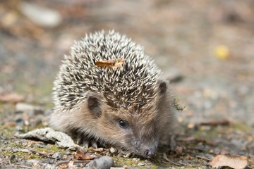 young west European hedgehog on the ground. Common hedgehog. Erinaceus europaeus