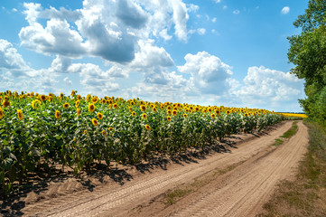 Landscape country road laid through the blooming beautiful sunflower field. Sunflowers field and blue sky with large white and gray clouds background.