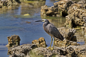 Common white faced heron at Cape Range National Park