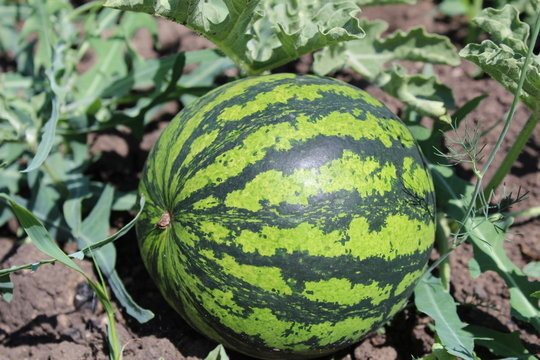 photo watermelon on the field in the summer