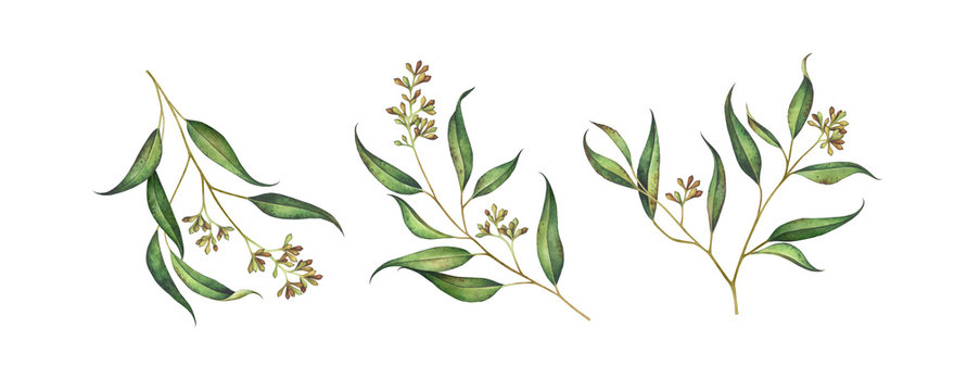 Set of seeded eucalyptus branches isolated on white. Watercolor illustration.