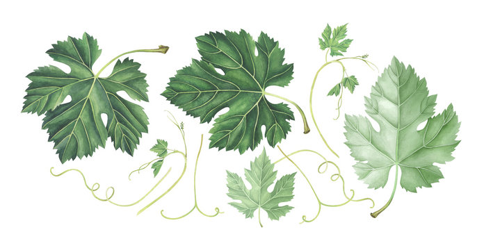 Set of grape leaves isolated on white. Hand drawn watercolor illustration.