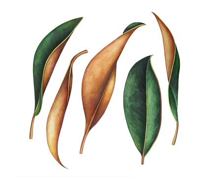 Collection of magnolia leaves isolated on white. Watercolor illustration.