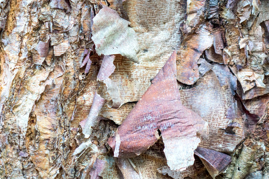 River Birch Exfoliating Bark