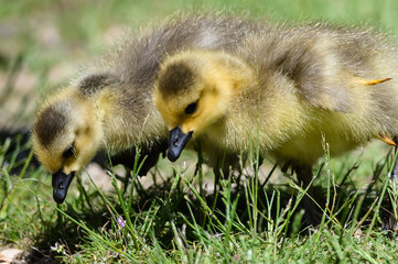 Fototapete - Newborn Goslings Learning to Search for Food