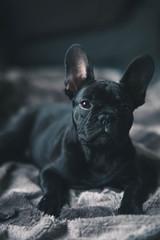 Obraz French Bulldog - fototapety do salonu