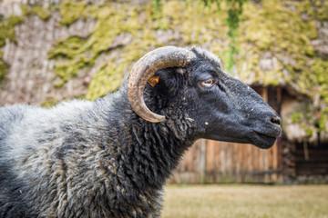 czarny baran i owce