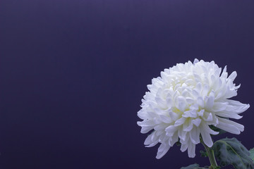 flowers of delicate white chrysanthemum macro photo on a dark background free space for your text
