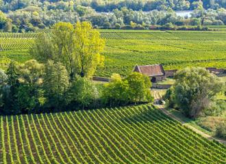 Vineyards in the Rheingau, Hesse, near Ruedesheim in summer