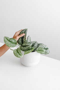 Women's hand touch the leaf of the houseplant on white and grey background, minimal modern houseplant care concept, Scindapsus Pictus Exotica