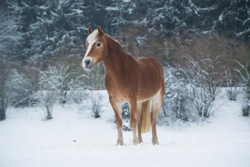 Haflinger im Schnee