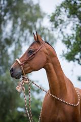 Araber Quarter Horse mit Bosal