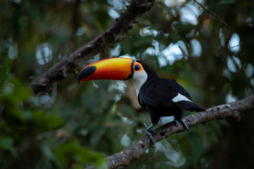 Fotobehang Toekan Giant toucan also known as toco toucan (Ramphastos toco) in natural habitat, Pantanal, Brazil.