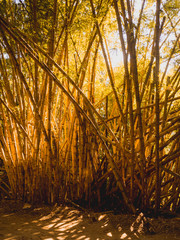 Bambus brasileiros