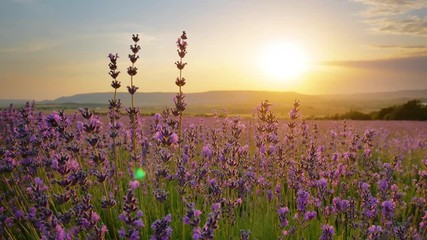 Wall Mural - Bush of lavender flower in big meadow at sunset. Agriculture and nature scene.