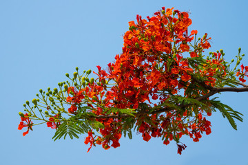 Fototapete - Flammenbaum rot
