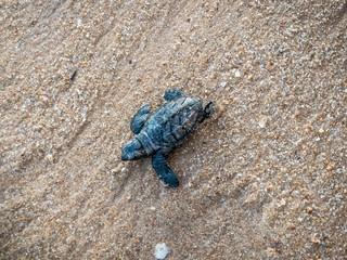 Poster de jardin Tortue Desova de tartaruga