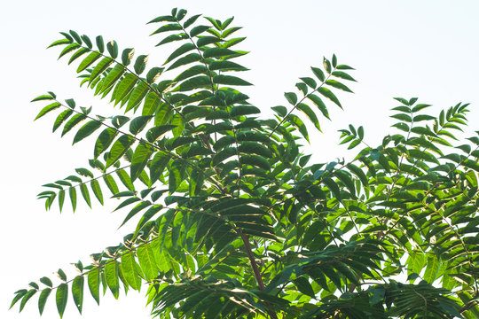 Ailanthus altissima flowers ready to bloom. Ailanto blosson, Tree of Heaven. Ailanthus altissima. Nature background.