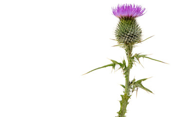 A large isolated Thistle with stem and leaves weighted to the right with room for copy text on the left